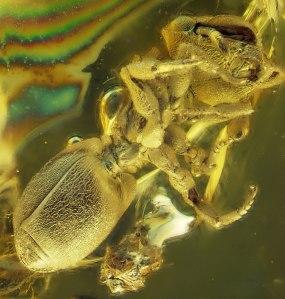 Amber-Cephalotes
